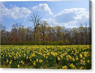Field Of Daffodils At The Morton Arboretum Canvas Print