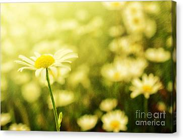 Field Of Daisies In Summer Rain Canvas Print by Sabine Jacobs