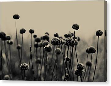 Field Of Dreams Canvas Print by Olivia StClaire