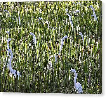 Field Of Egrets Canvas Print