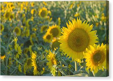 Field Of Happiness Canvas Print by Rima Biswas