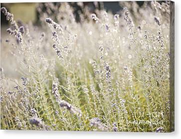 Field Of Lavender At Clos Lachance Vineyard In Morgan Hill Ca Canvas Print