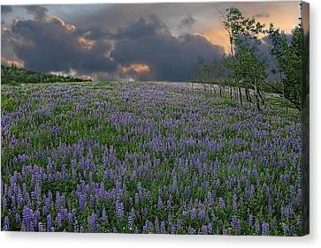 Field Of Lupine Canvas Print by Ed Hall