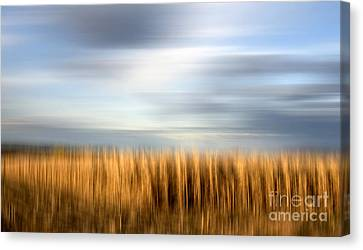 Field Of Maize Canvas Print by Bernard Jaubert