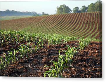 Indiana Corn Rows Canvas Print - Field Of Maize by Jim West