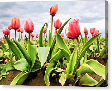 Canvas Print featuring the photograph Field Of Pink Tulips by Athena Mckinzie