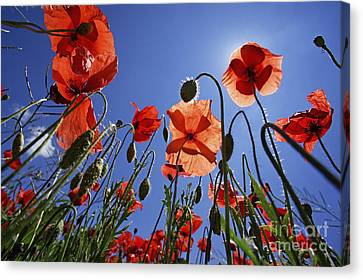 Field Of Poppies At Spring Canvas Print by Sami Sarkis