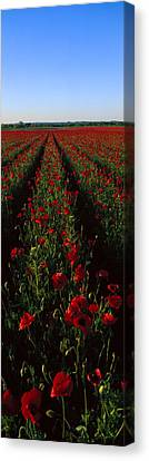 Field Of Poppies Canvas Print by Panoramic Images