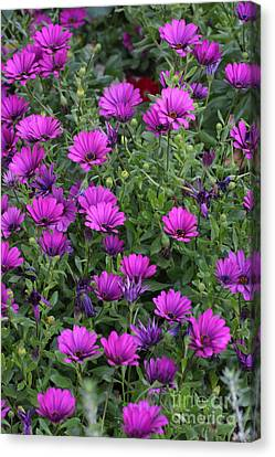 Canvas Print featuring the photograph Field Of Purple by Ruth Jolly