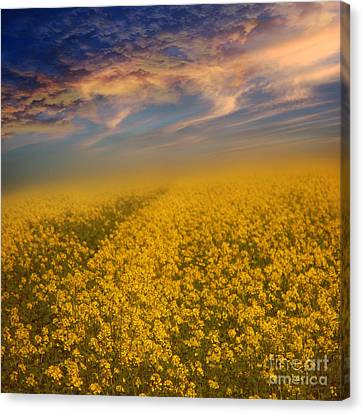 Field Of Rapeseed  Canvas Print by Monika Pachecka