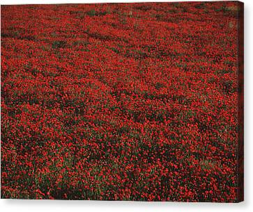 Field Of Red Poppies Canvas Print by Ian Cumming