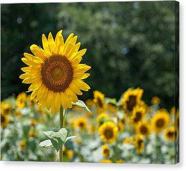 Field Of Sun Canvas Print by Brian Young