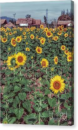 Field Of Sunflowers Canvas Print by Adrian Evans