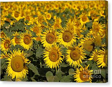 Field Of Sunflowers Canvas Print by Brian Jannsen