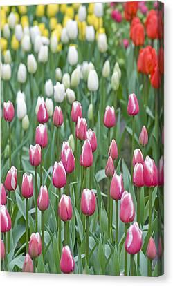 Field Of Tulips Canvas Print by Juli Scalzi