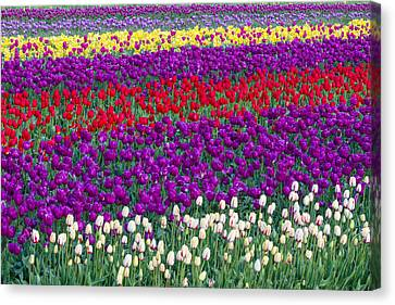 Field Of Tulips Canvas Print by Patricia Davidson