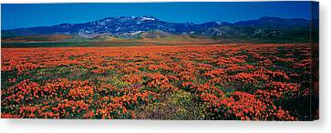Field, Poppy Flowers, Antelope Valley Canvas Print by Panoramic Images