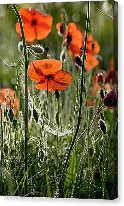 Field Poppy (papaver Rhoeas) Flowers Canvas Print