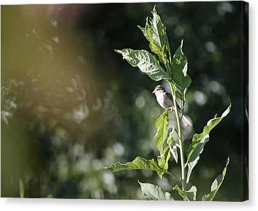 Field Sparrow Canvas Print by Melinda Fawver