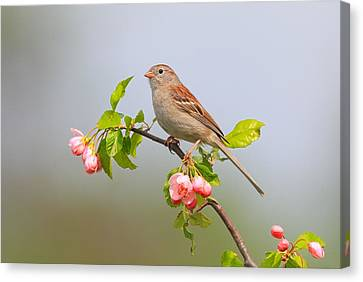 Field Sparrow On Apple Blossoms Canvas Print by Daniel Behm