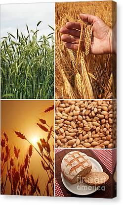 Fields And Grain Collage Art Canvas Print by Boon Mee