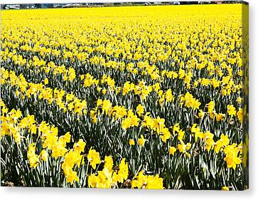 Fields Of Daffodils  Canvas Print