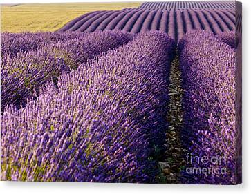 Fields Of Lavender Canvas Print by Brian Jannsen