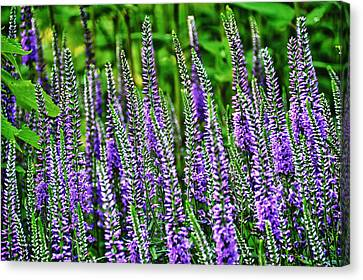 Fields Of Lavender Canvas Print by Pat Cook