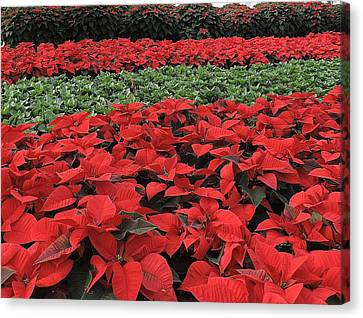 Fields Of Poinsettias Canvas Print