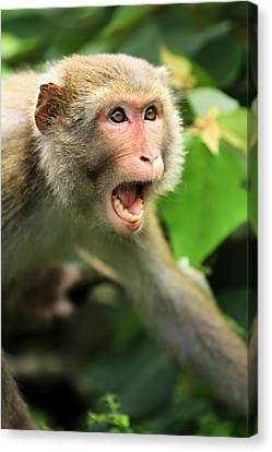 Monkey Of Kam Sham Country Park Canvas Print