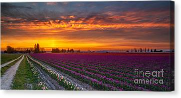 Fiery Skies Above Broad Tulips Canvas Print