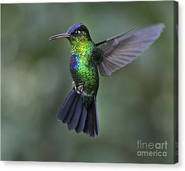 Fiery-throated Hummingbird..  Canvas Print by Nina Stavlund