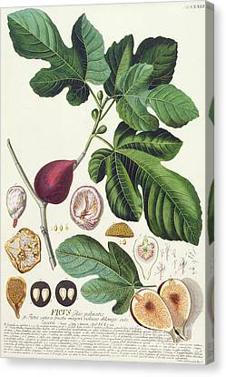 Fig Engraved By Johann Jakob Haid  Canvas Print