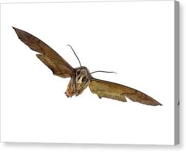 Fig Sphinx Moth Canvas Print by F. Martinez Clavel