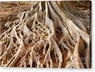 Fig Tree Roots In Balboa Park Canvas Print
