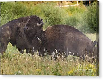 Fighting Bison Canvas Print by Mike Cavaroc