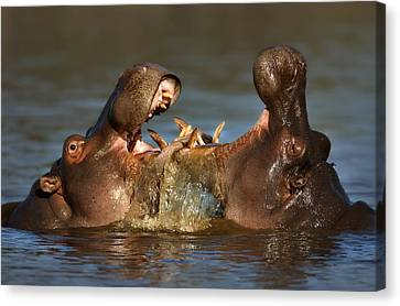 Hippopotamus Canvas Print - Fighting Hippo's by Johan Swanepoel