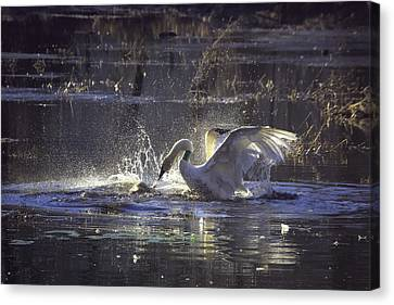 Fighting Swans Boxley Mill Pond Canvas Print by Michael Dougherty