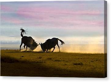 Fighting Wildebeest Ngorongoro Crater Tanzania Canvas Print