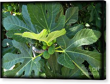 Figtree Canvas Print - Figtree by Susanne Baumann