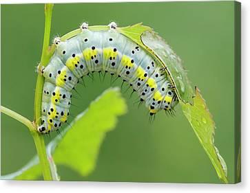 Figure Of Eight Caterpillar Canvas Print by Heath Mcdonald