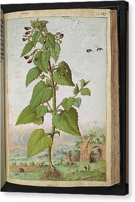 Figwort (scrophularia Sp.) Canvas Print by British Library