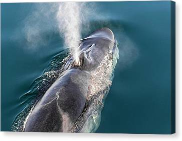 Blowhole Canvas Print - Fin Whale Blowing by Christopher Swann