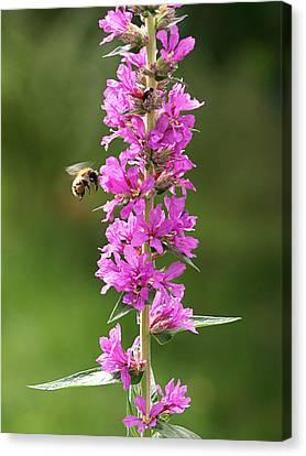 Final Approach - Bee On Purple Loosestrife Canvas Print by Gill Billington