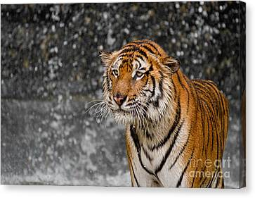 Final Drops Canvas Print by Ashley Vincent