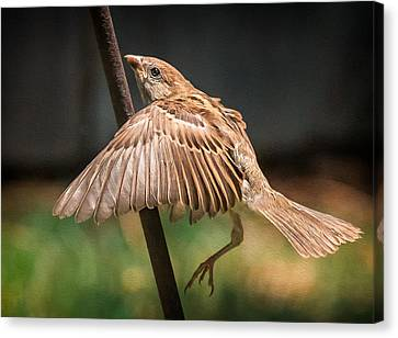 Finch In Morning Light Canvas Print