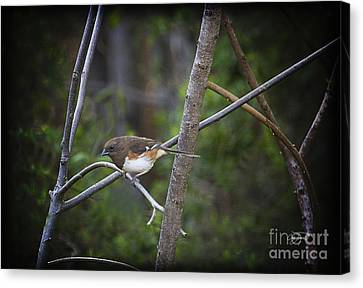 Finding A Mate Canvas Print by Cris Hayes