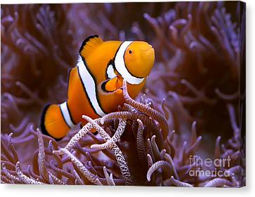 Finding Nemo Canvas Print by Shannon Rogers