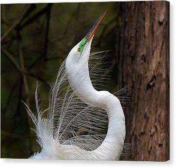 Fine Feathers Canvas Print by Paulette Thomas