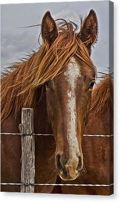 Fine Filly Canvas Print by Mamie Thornbrue